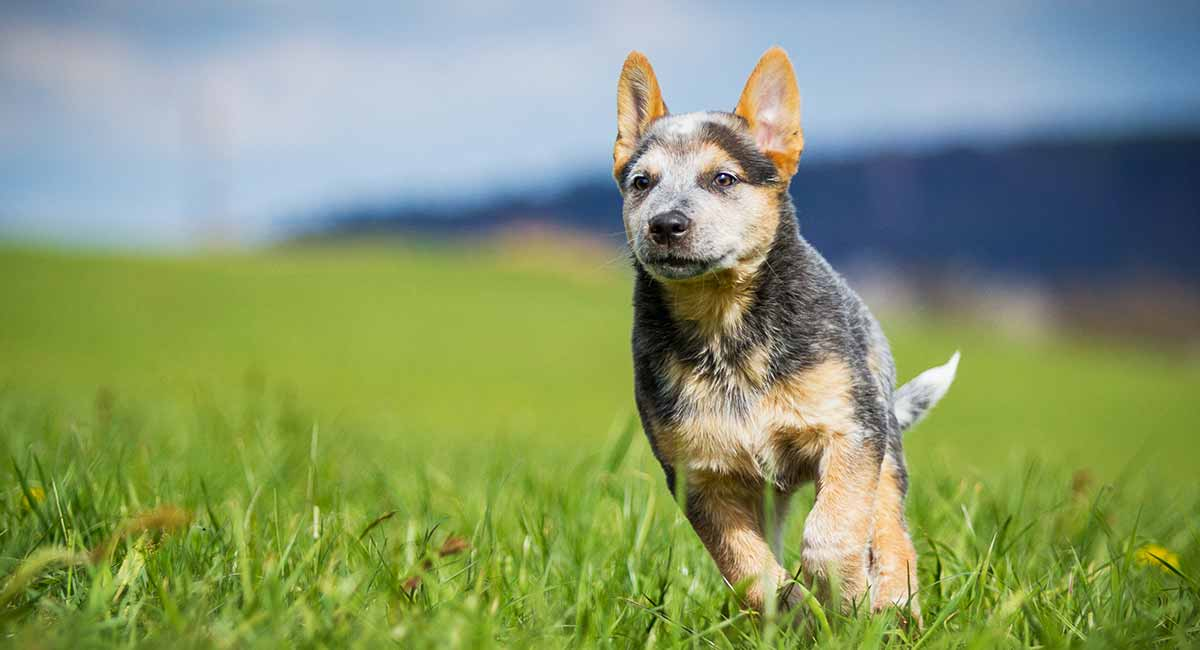 Mini Australian Cattle Dog Your