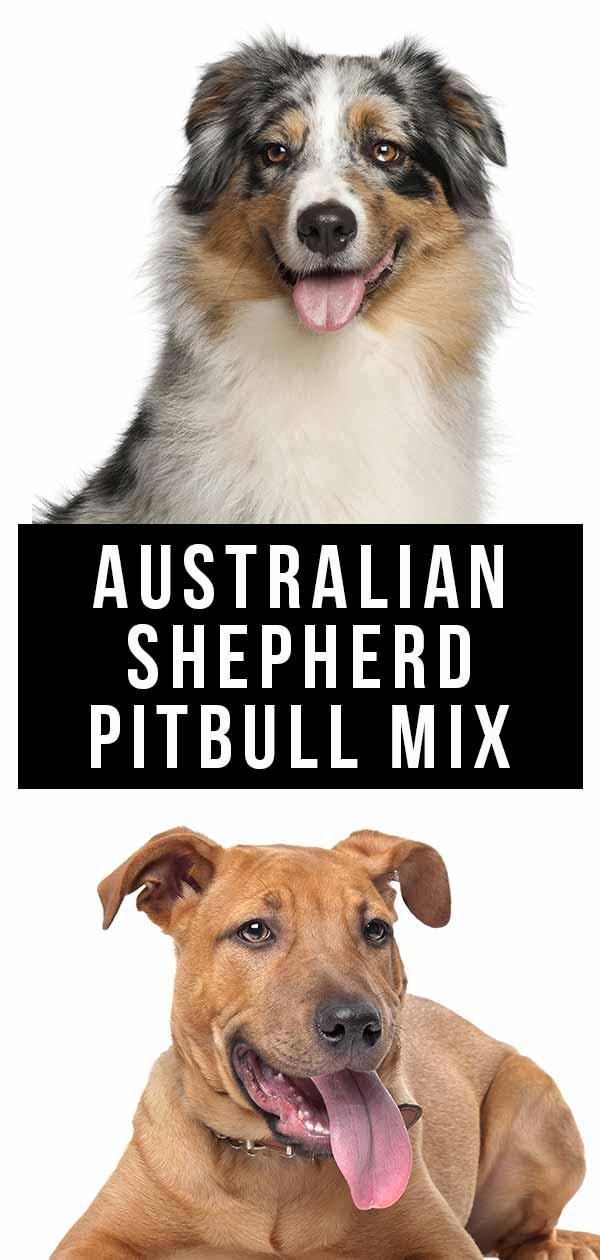 australian shepherd pitbull mix