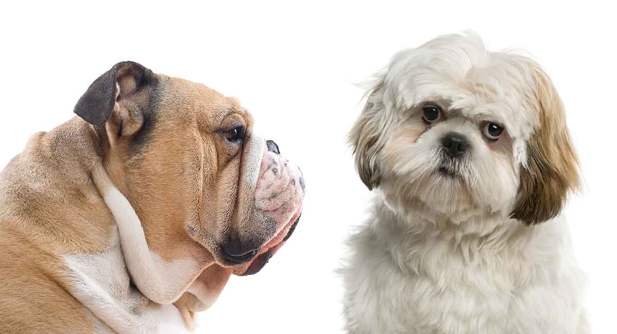 Bulldog Shih Tzu mix