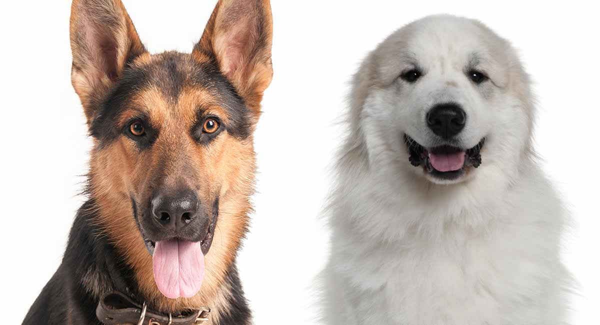 Great Pyrenees German Shepherd Mix A Complete Guide