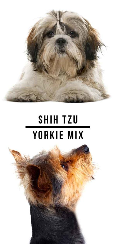 shih tzu yorkie mix
