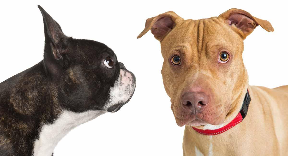 Boston Terrier Pitbull Mix Everything