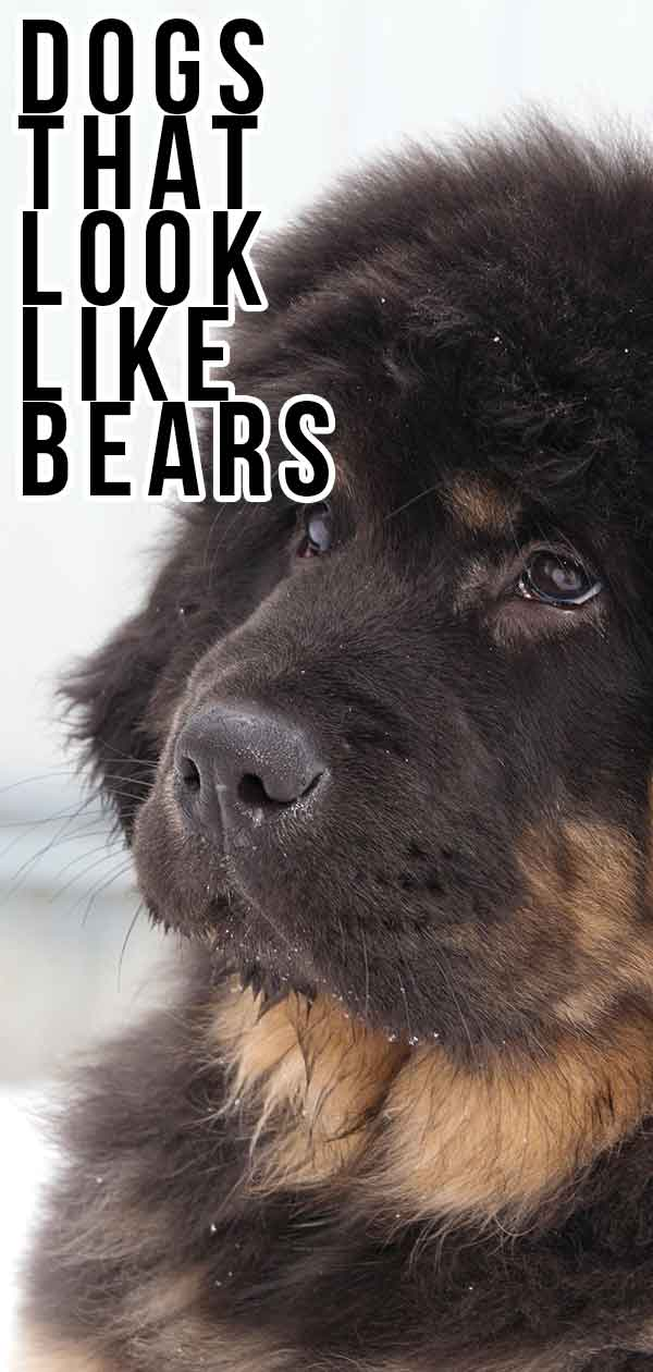 dogs that look like bears