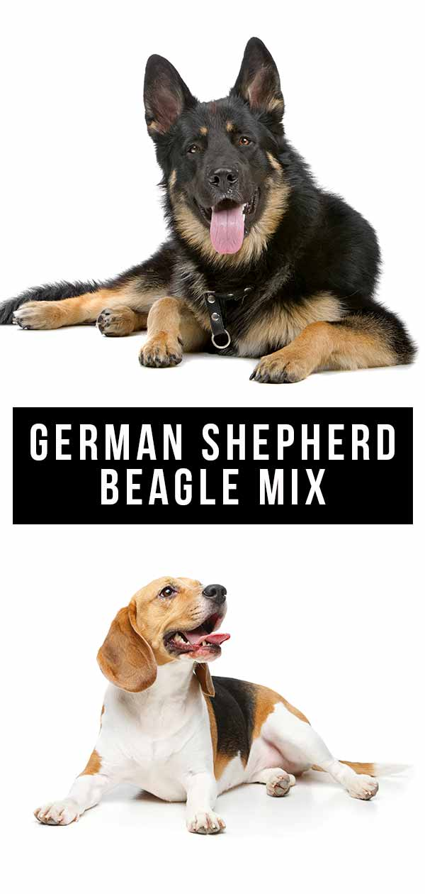german shepherd beagle mix