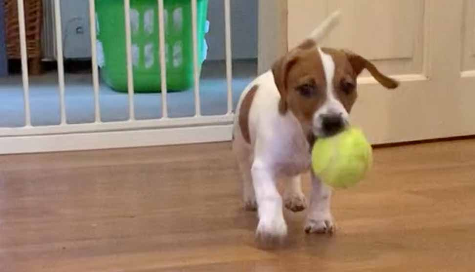 JRT puppy with tennis ball