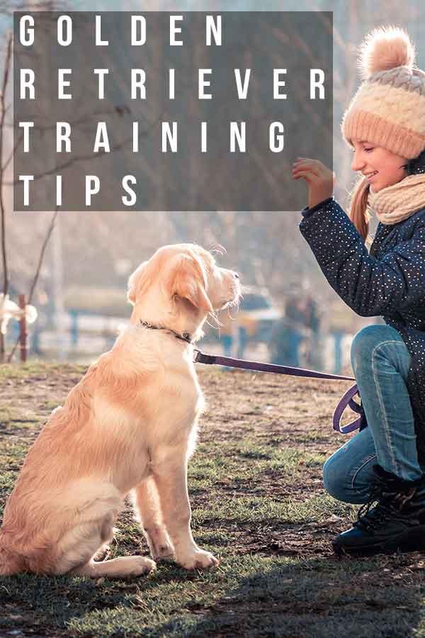 Golden Retriever Training Tips