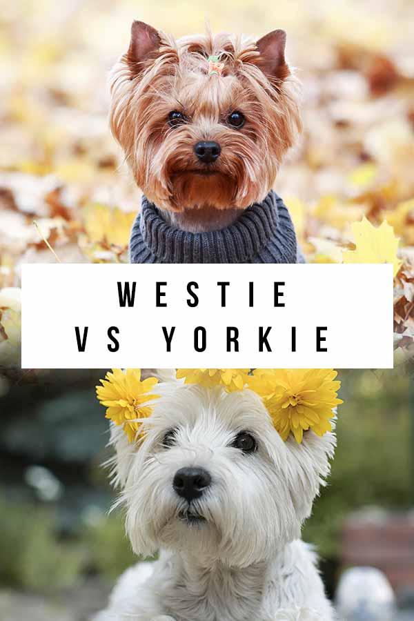 westie vs yorkie
