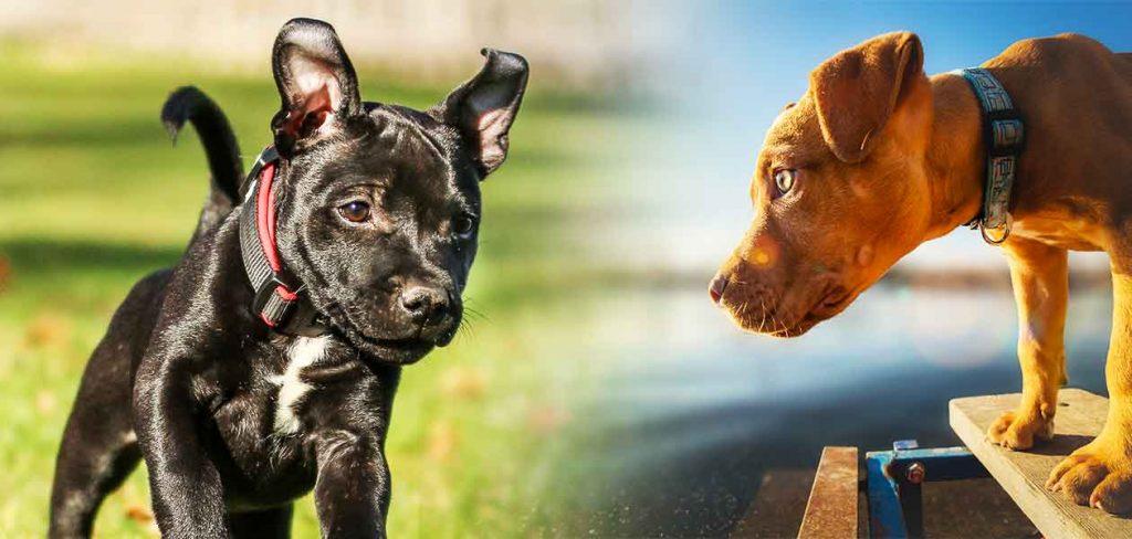 amstaff vs pitbull