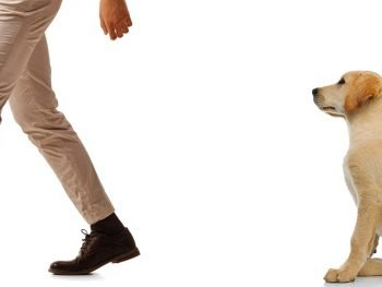 man walking away from labrador