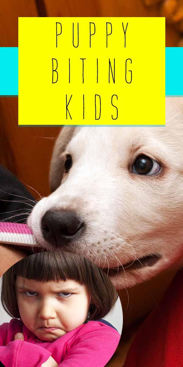 labrador puppy biting kids finger