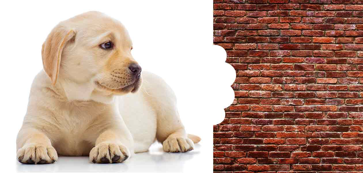 puppy chewing corners of walls