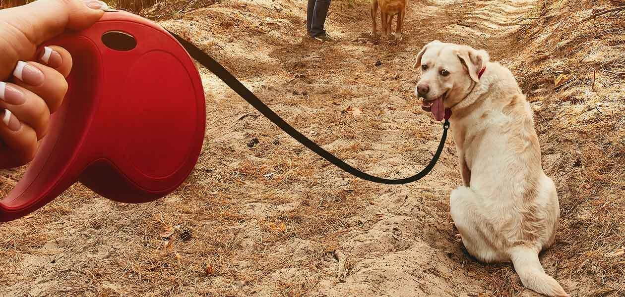 labrador on retractable leash