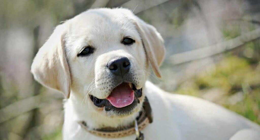 pale yellow labrador puppy