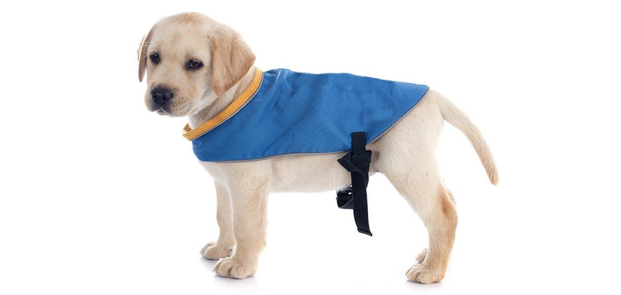 labrador puppy hates harness wearing