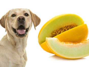 labrador and honeydew