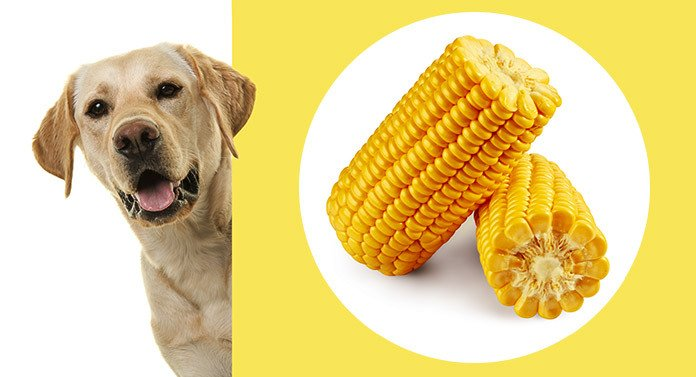 labrdor and corn