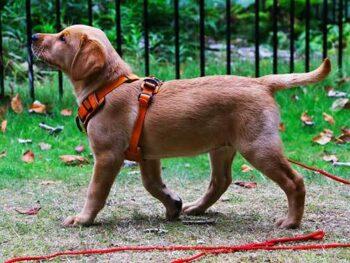 long leash dog training