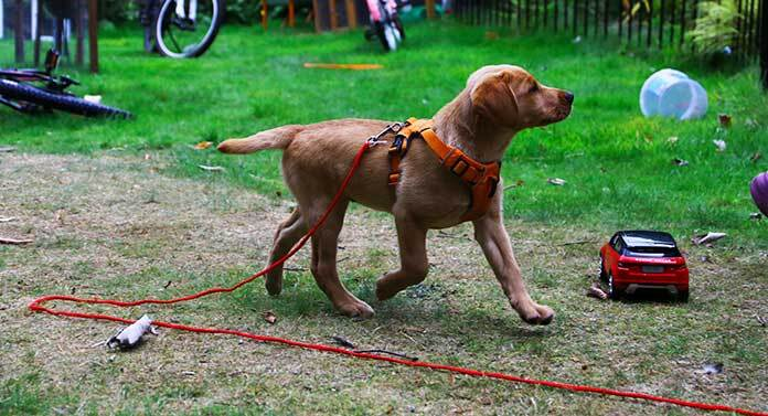 long line dog training