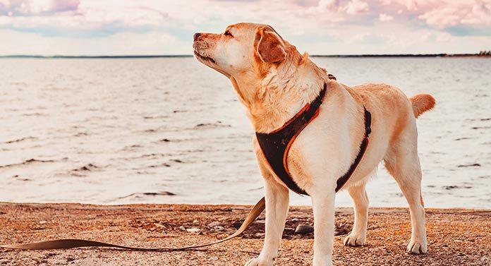 labrador in a harness