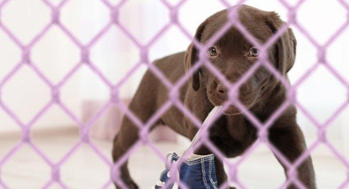 lab puppy in a playpen
