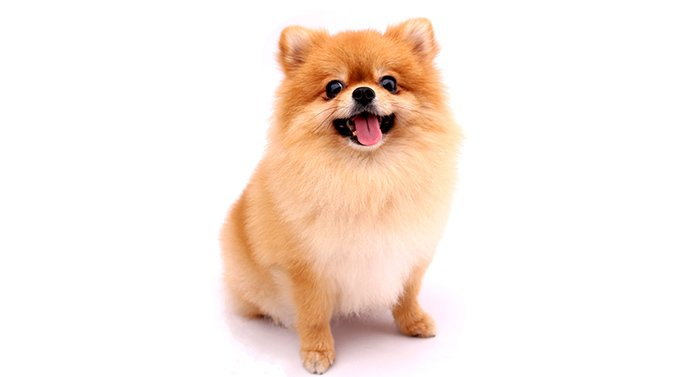 are teddy bear dogs easy to train