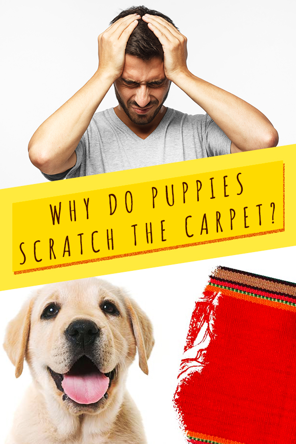 why do puppies scratch the carpet