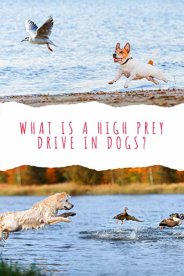 what is a high prey drive in dogs