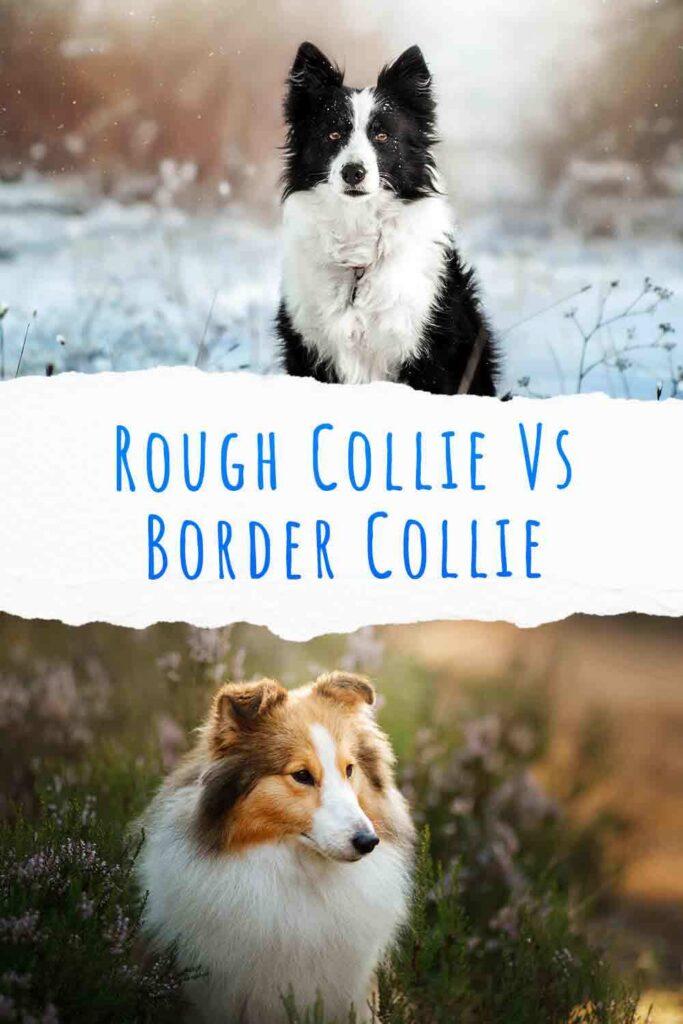 rough collie vs border collie