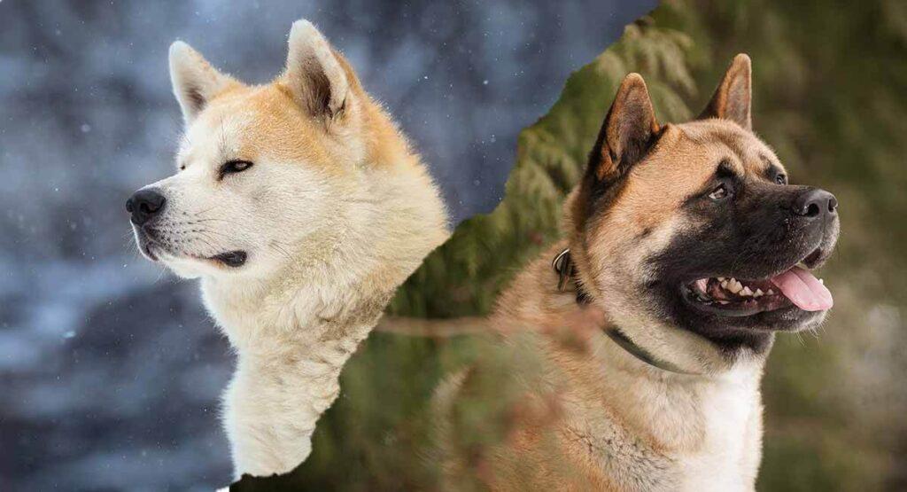 american akita vs japanese akita