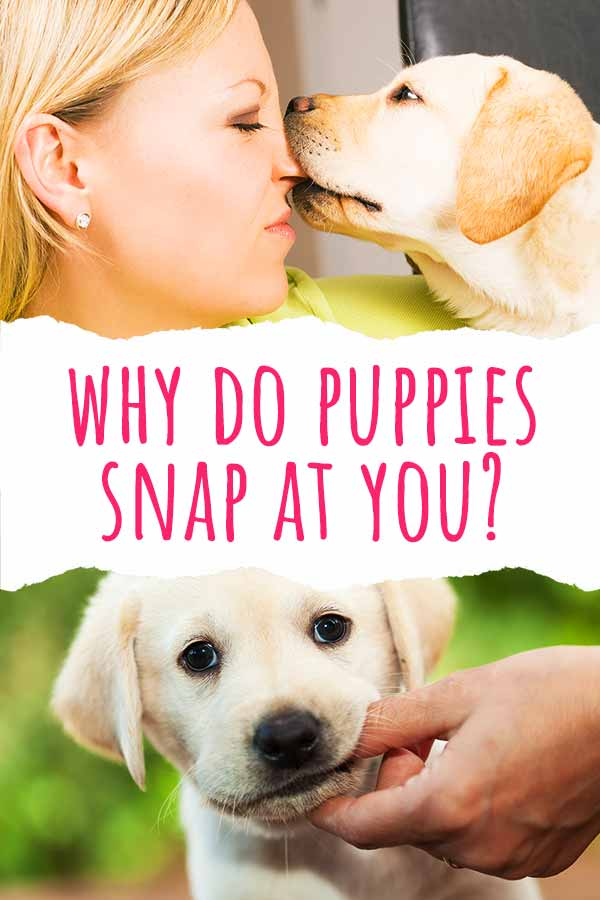 why do puppies snap at you