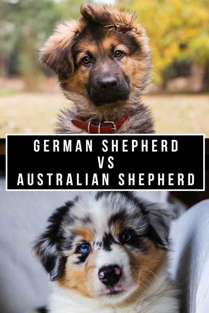 australian shepherd vs german shepherd
