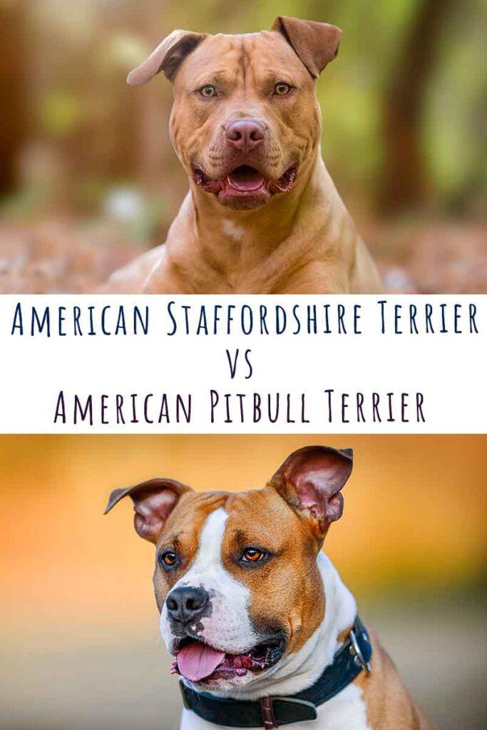 american staffordshire terrier vs american pitbull terrier