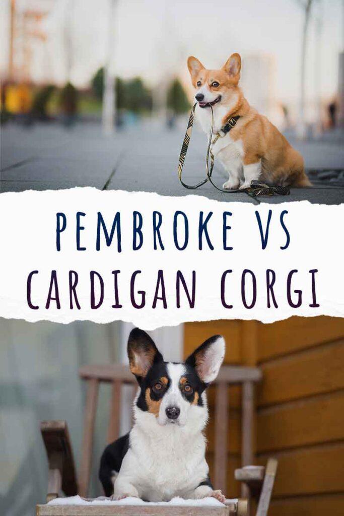 pembroke vs cardigan corgi