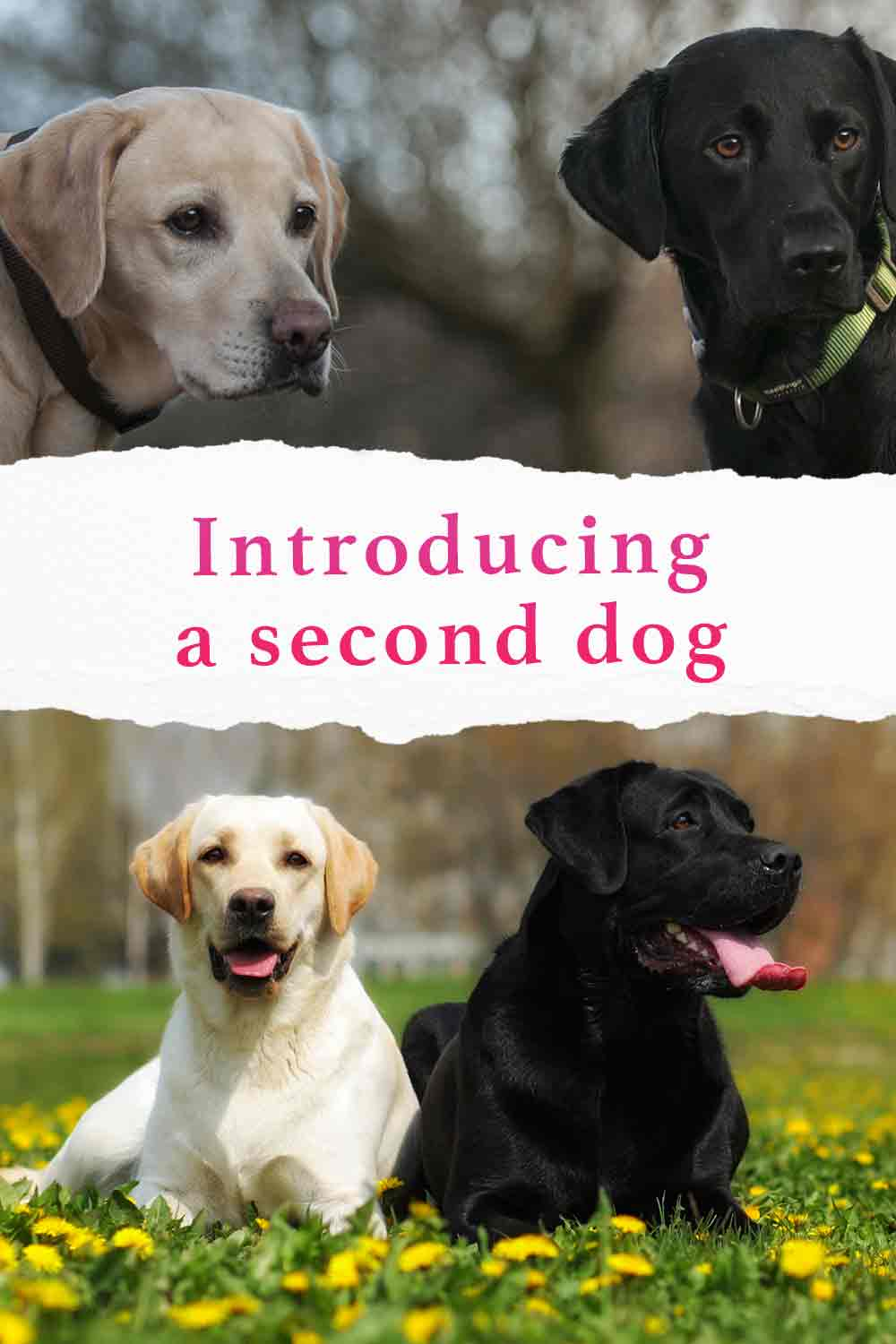 introducing a second dog
