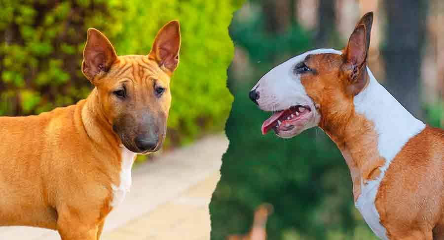 miniature bull terrier vs bull terrier