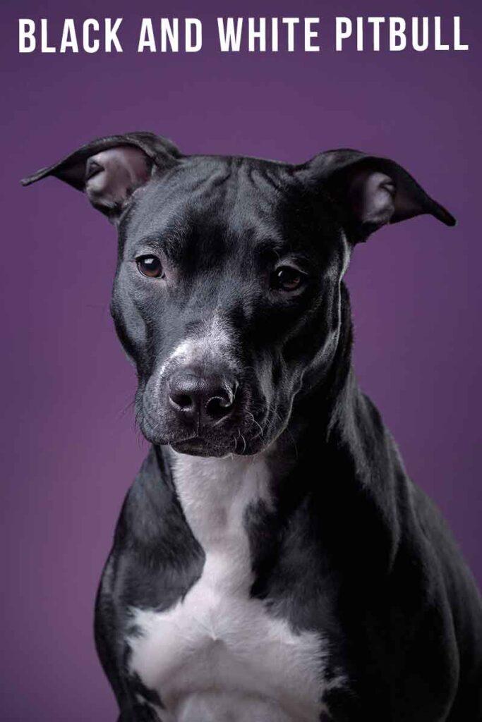 black and white pitbull