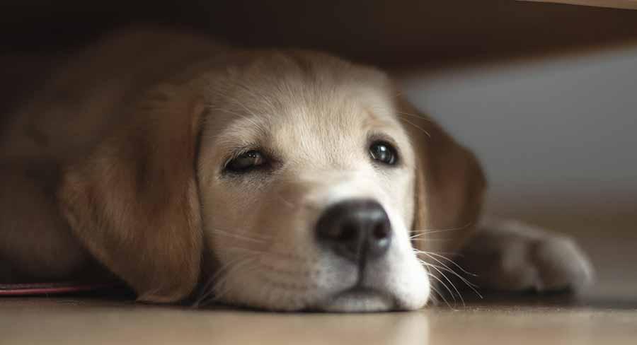 My Puppy Hates Me. Sad lab