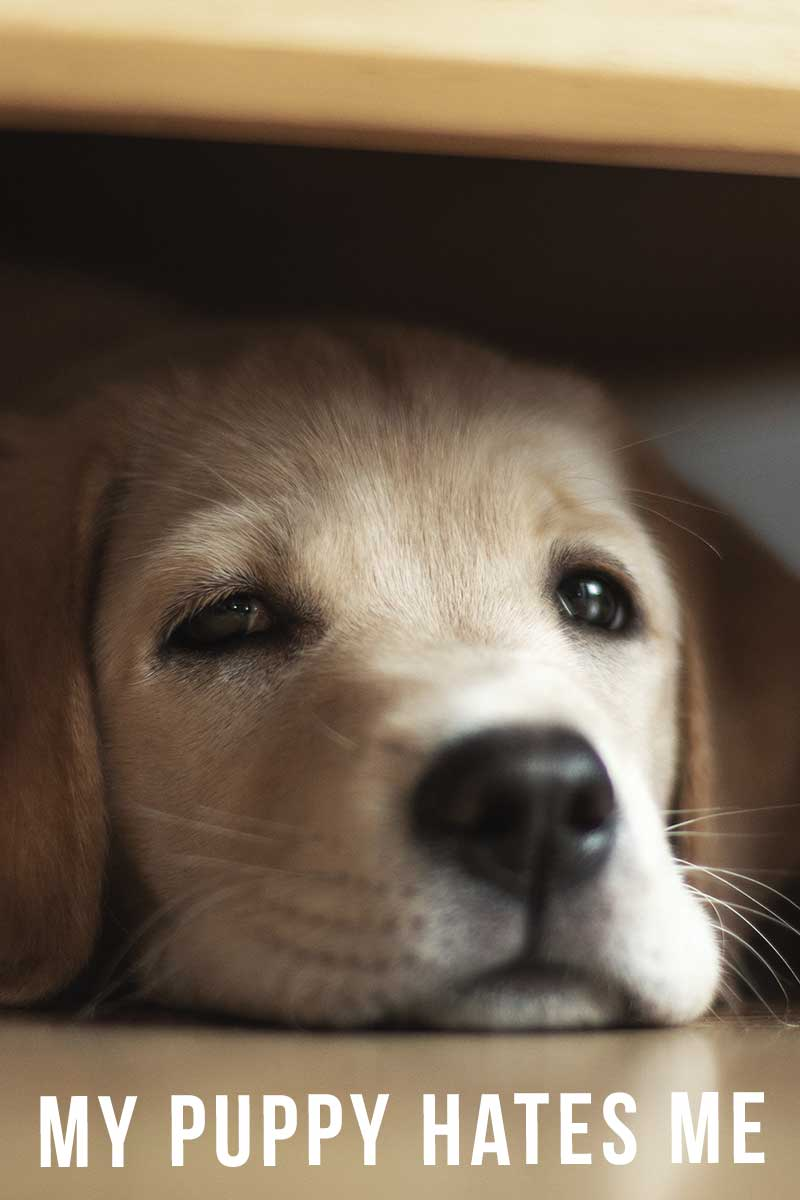 sad lab. my puppy hates me.