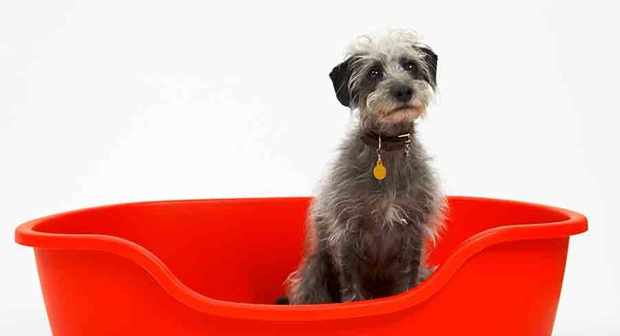 miniature lurcher dog