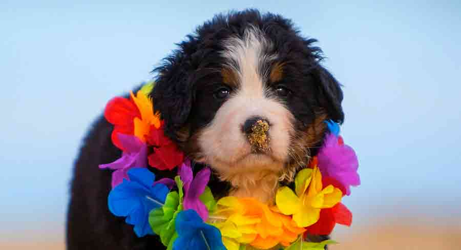 miniature bernese mountain dog