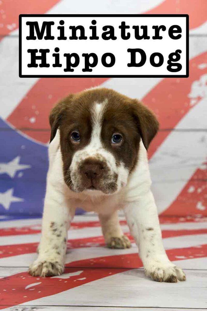 miniature hippo dog