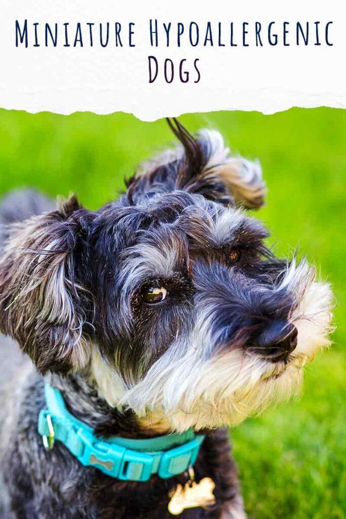 miniature hypoallergenic dogs